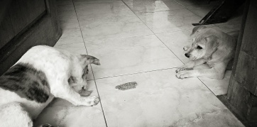 Anjing-kampung.jpg